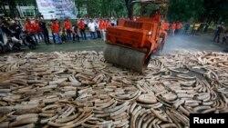 Gading-gading ilegal dihancurkan dalam upaya mencegah perburuan gajah dan mengekang pemasaran gading (foto: ilustrasi).