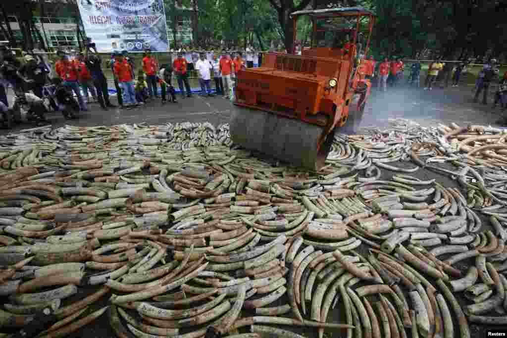 A road roller crushes smuggled elephant tusks that had been confiscated, at the Parks and Wildlife Center in Quezon City, Metro Manila. The government destroyed at least five tons of smuggled tusks, making the Philippines the first country in Asia to conduct physical destruction of massive ivory stockpiles in support of efforts to stamp out illegal wildlife trade.