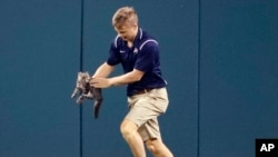 Lucas Hackmann, a member of the Busch Stadium grounds crew, removes a cat that ran onto the field during the sixth inning of a baseball game between the St. Louis Cardinals and the Kansas City Royals Wednesday, Aug. 9, 2017, in St. Louis. (AP Photo/Jeff R
