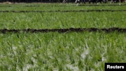 Laborers transplant rice seedlings in a paddy field in Qalyub, in the El-Kalubia governorate, northeast of Cairo, Egypt, June 1, 2016.