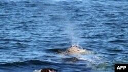 تلاش برای نجات يک نهنگ خاکستری در کاليفرنيا