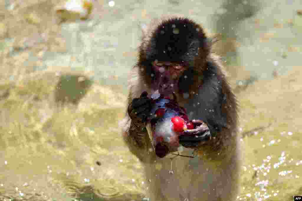 A monkey eats frozen cherries to stay cool at the Rome Zoo (Bioparco di Roma) as temperatures reached 36 degrees Celsius in the Italian capital.