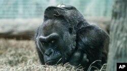 Colo, gorila tertua di dunia, beristirahat di kandangnya di Kebun Binatang Columbus, Ohio (15/12). (AP/John Minchillo)