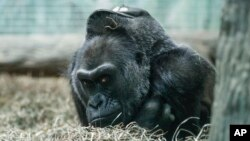 Colo, a Western Gorilla, rests in her enclosure at the Columbus Zoo, Dec. 15, 2016, in Columbus, Ohio. Colo, the very first born and oldest surviving gorilla in captivity.