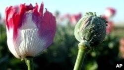 پوست کا پھول، جس سے افیون حاصل ہوتی ہے۔ فائل فوٹو