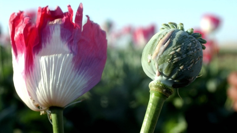 افغانستان میں افیون کی پیداوار میں 87 فی صد ریکارڈ اضافہ