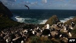 福克蘭群島上的信天翁。福克蘭群島目前是由英國管治的殖民地。