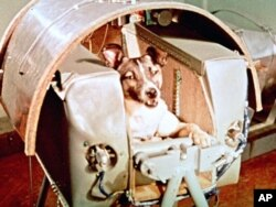 Female dog named Laika aboard the Sputnik II space capsule before its launch. (AP File Photo)