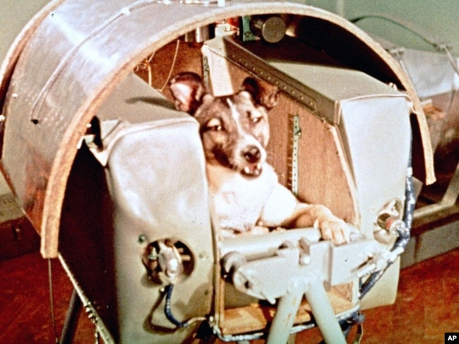 Female dog named Laika aboard the Sputnik II space capsule before its launch. (AP File Photo)