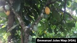 Une petite exploitation cacaoyère dans le département de la mefou akono dans la région du centre, le 12 octobre 2020. (VOA/Emmanuel Jules Ntap)