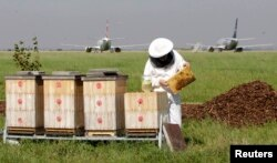 FILE - A beekeeper checks a honeycomb from a beehive at Vaclav Havel Airport in Prague, Sept. 6, 2013.