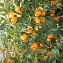 Thăm vườn cây Lái Thiêu miền nam California