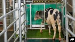 """Dalam foto tak bertanggal yang disediakan oleh Research Institute for Farm Animal Biology di Dummerstorf, Jerman, September 2021, seekor anak sapi memasuki kandang tertutup astroturf yang dijuluki """"MooLoo"""" untuk buang air kecil. (Thomas Häntzschel/FBN via AP)"""