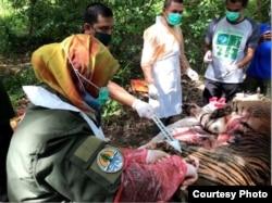 Tim dokter hewan BKSDA Aceh melakukan nekropsi terhadap harimau Sumatra yang ditemukan mati di Aceh Selatan, Senin 29 Juni 2020 (Courtesy: BKSDA Aceh).
