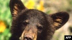 Việt Nam bài trừ du lịch đến các nơi nuôi, chích hút 'mật gấu'