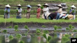 Farmers plant rice in a field in Indonesia