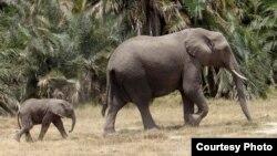 Săn bắt và mất môi trường sống đã đưa loài voi đến bờ vực tuyệt chủng