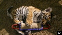 FILE - In this Dec. 12, 2016, photo, Kashtan, an Amur tiger cub, plays with a toy at the Milwaukee County Zoo in Milwaukee where he is being hand-raised away from his mother and two sisters by staff.