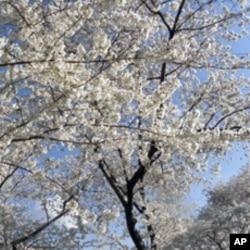 美国首都华盛顿樱花怒放