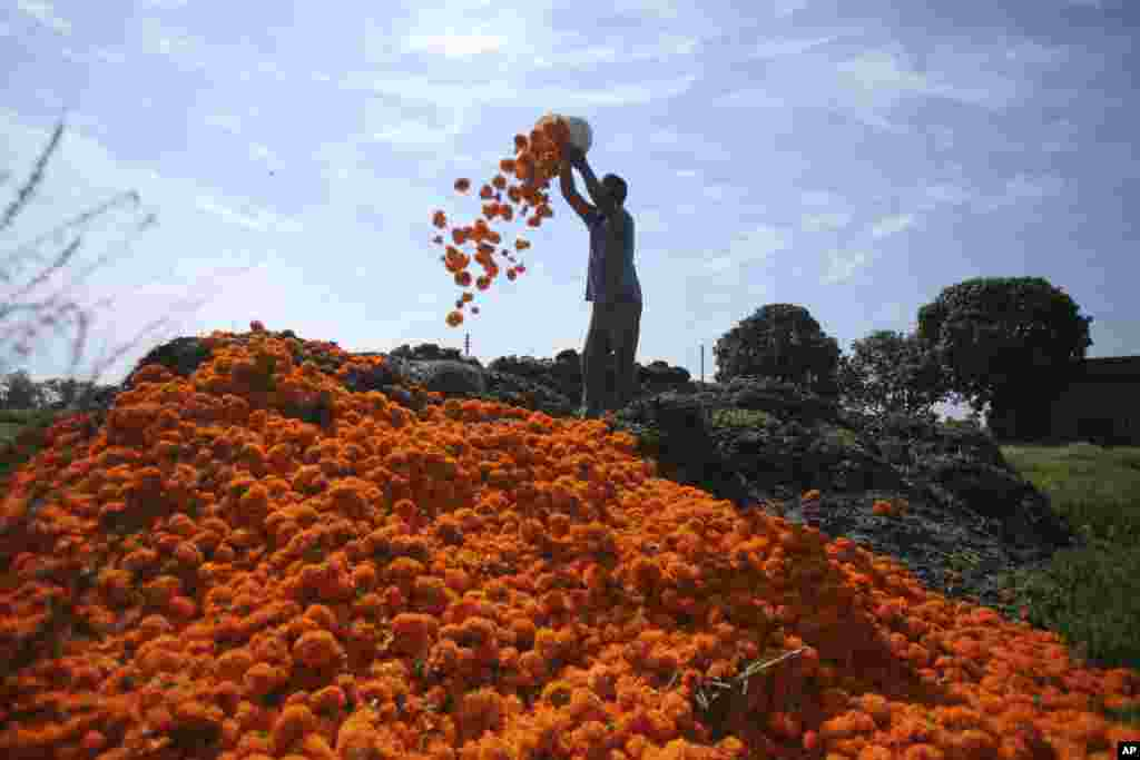 A farmer dumps marigold flowers in his farm on the outskirts of Jammu, India.