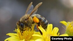 Insects help pollinate 75 percent of crop species and over 90 percent of wild flowering plants. (Creative Commons)