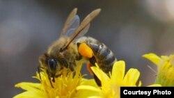 Les abeilles comptent parmi les insectes consommés par certaines populations