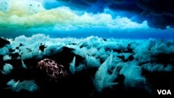White ice crystals beneath the Antarctic Sea slowly grow in super-cold water like crystalline marine life. Similar crystals in fish blood can quickly kill them, demanding the evolution of anti-freeze. (John Weller)
