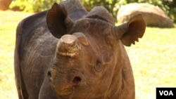 Phila, badak hitam berumur enam tahun dipindahkan ke kebun binatang Johannesburg setahun yang lalu. Jenis badak hitam kini telah punah karena perburuan liar (foto: dok).