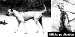 Chó Phú Quốc do ông Anusorn Supmanue chụp ở đảo Phú Quốc năm 1990. (Hình: Nature & Pet Magazine)