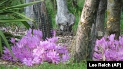 With autumn gardening you need to find the right plant for your area. This photo shows autumn crocus. Other types of crocuses are known as a spring flower. Photo was taken on Oct. 6, 2009. (AP/Lee Reich)