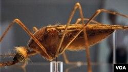 La acelerada propagación de las enfermedades trasmitidas por los mosquitos, como la fiebre del dengue, pueda afectar EE.UU.
