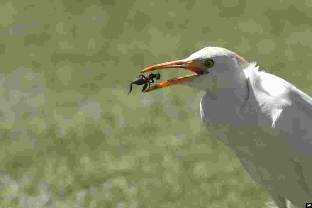 A white stork feasts on a cricket it caught on the pitch, during the cricket One Day International final between South Africa and Australia in Harare, Zimbabwe, Sept. 6, 2014.