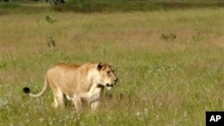 FILE - Lioness walks through the tall grass in the Phinda Private Game Reserve, near Hluhluwe, South Africa, April 2012.