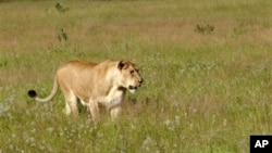 This photo taken April 2012 shows a lioness walking through the tall grass in the Phinda Private Game Reserve, near Hluhluwe, South Africa. The lions that roam Africa's savannahs have lost as much as 75 percent of their habitat in the last 50 years as humans overtake their land. (AP Photo/Matthew Craft-file)