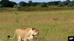 A South African lioness walks through the Phinda Private Game Reserve, near Hluhluwe, South Africa. File Photo.