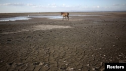 A horse walks at Tisma lagoon, Nicaragua, Feb. 29, 2016. The U.N. Food and Agriculture Organization says a new weather monitoring system to better forecast drought in Central America could help the region's governments and farmers avoid major crop losses.