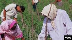 El uso de irrigación por goteo permite a capesinos en la India incrementar sus cosechas y a su vez sus entradas económicas.