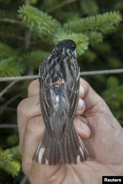 A blackpoll warbler is fitted with a miniaturized light-sensing geolocator that enables researchers to track its exact migration routes, undated handout photo.