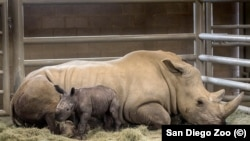 A day-old southern white rhino calf rests beside his mother, Victoria.