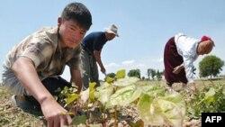 На хлопковой плантации в Узбекистане