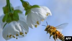 Une abeille collecte le pollen d'un cerisier en fleur à Markendorf, Francfort en Allemagne le 19 avril 2018 .