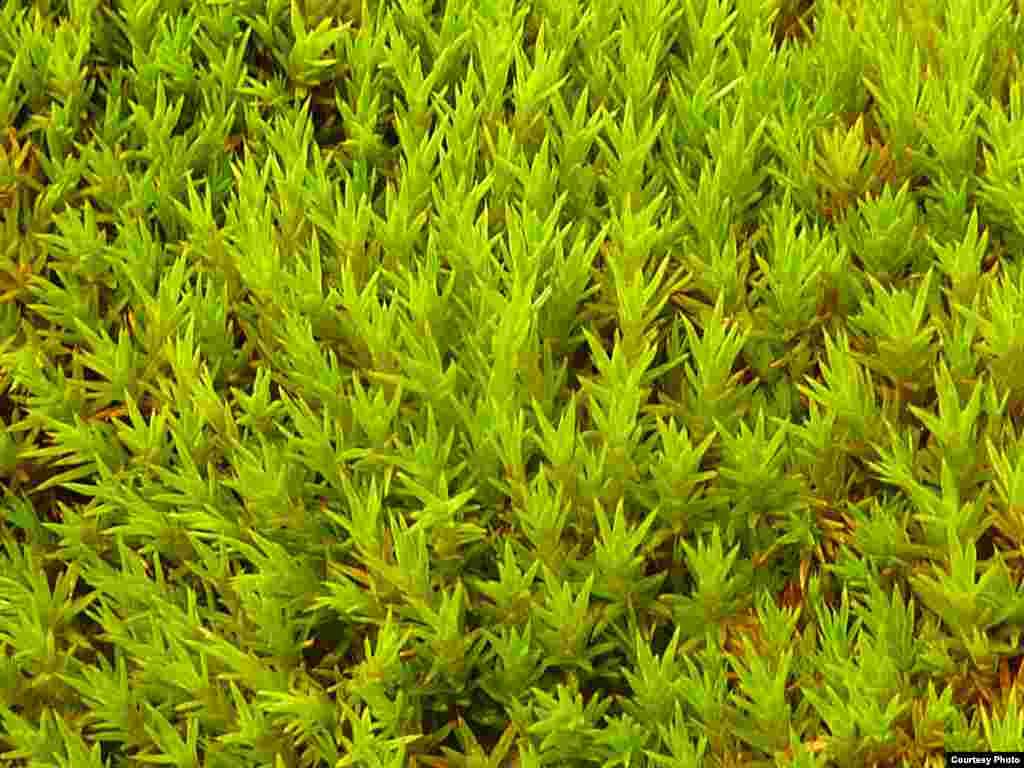 Foto en primer plano del crecimiento de Polytrichum strictum en el banco de musgo de isla Verde e isla Berthelot. (Dan Charman/Matt Amesbury)