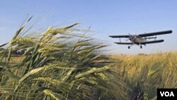 Petani Rusia menggunakan pesawat untuk menyebarkan zat kimia pembunuh serangga di ladang gandum di Mozdok, Ossetia utara (8/6).