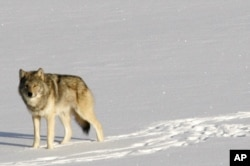 A gray wolf is shown on Isle Royale National Park in northern Michigan.