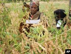 Woman selects pigeon-pea varieties in Kenya