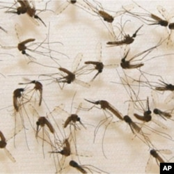 Adult mosquitoes ready for vaccine production.