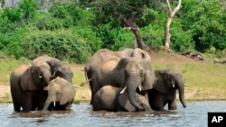FILE - In this March 3, 2013 file photo, elephants drink from the Chobe National Park in Botswana. The sudden deaths of some 330 elephants earlier this year may have occurred because they drank water contaminated by toxic blue-green algae. (AP Photo/Charmaine Noronha, File)