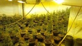 Kultivim i marijuanës në mjedise të mbyllura