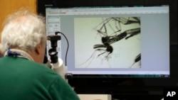 Ông Evaristo Miqueli, một chuyên gia về diệt muỗi của Quận Broward, bang Florida nghiên cứu loại muỗi vằn (Aedes aegypti) trên kính hiển vi (ngày 28/7/2016).