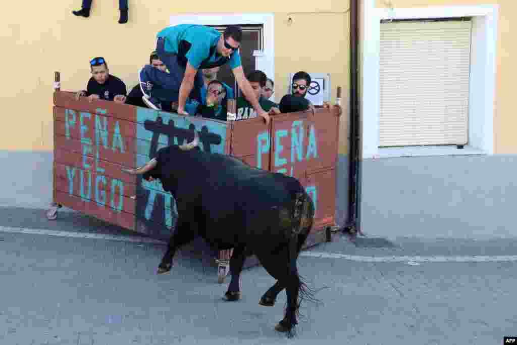 អ្នកមើលការប្រកួតម៉្យាងដែលមានគោរត់ប្រណាំងគ្នា លោតទៅខាងក្រោយរបាំងមួយដើម្បីគេចពីគោមួយក្បាលក្នុងពេលរត់ប្រណាំងរបស់សត្វគោ នៅតាមបណ្តោយផ្លូវនានា ដែលជាផ្នែកនៃពិធីបុណ្យ Botijeras នៅក្នុងតំបន់ Duenas ខេត្ត Palencia ប្រទេសអេស្ប៉ាញ។